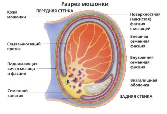 Лечение варикоз яичка